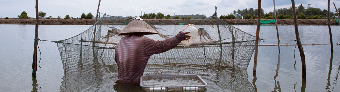 Photo Credit: Shrimp farming in Aceh, Indonesia. Photo by Mike Lusmore/Duckrabbit, 2012 via Flickr.com user WorldFish