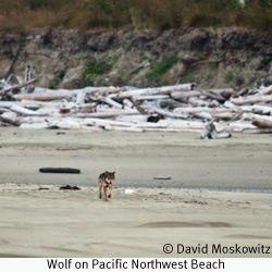 Wolf on Pacific Northwest Beach