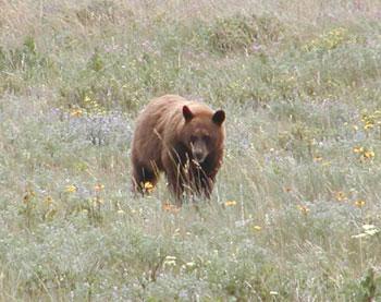 Grizzly bear in field