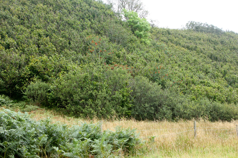Ballachuan Woodland Reserve, western Scotland - other than the red-berried rowan (center), this predominately dwarf hazel woodland qualifies as temperate rainforest based on high moisture and rich oceanic epiphytic lichens. Photo - D. DellaSala