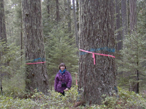 Old-growth temperate rainforest in southwest Oregon with large carbon-storing trees marked for logging (photo credit: F. Eatherington, Cascadia Wildlands)