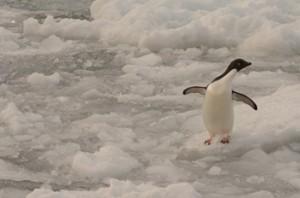 Adelie Penguin in the Rain on the Larsen Ice Shelf, Antarctica. Photo credit Cristina Eisenberg