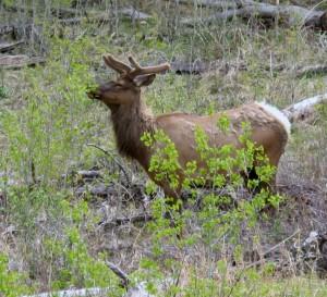 elk in YNP