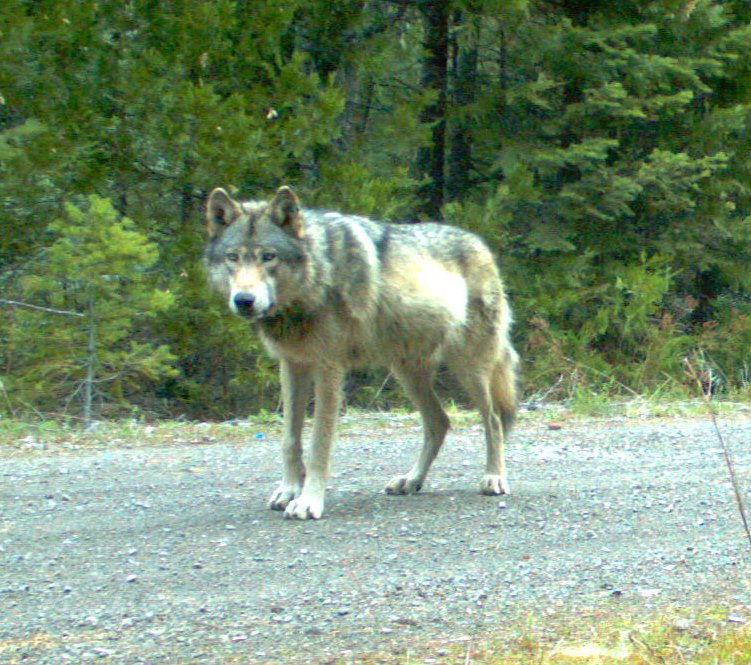 Remote camera image of wolf OR7, in southwest Oregon, May 2014. Photo courtesy of Oregon Department of Fish and Wildlife.