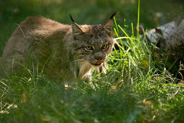 Lynx, like other carnivores, need to disperse. Photo by Doug Brown, used under Creative Commons licensing.