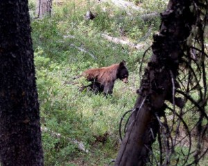 Young bear in Grand Teton National Park. Photo by JHCR, used under Creative Commons licensing.
