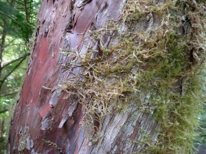 The bark of the pacific yew is the subject of cancer research. Photo by brewbooks, used under Creative Commons licensing.