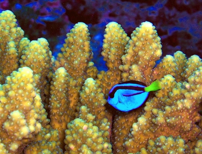 A Pacific blue tang in the Pacific Remote Islands National Wildlife Refuge Complex, in the neighborhood of where President Obama plans to create the largest marine protected area. Photo by Jim Maragos/USFWS, used under Creative Commons licensing.