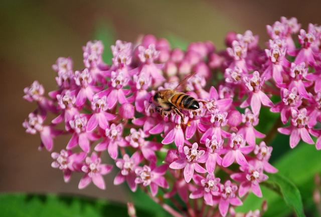 A European honeybee. Photo by Rachel James, used under Creative Commons licensing.