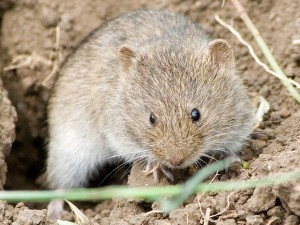 A vole of the genus studied by Ronald Chesser and Robert Baker. Photo by Vitalii Khustochka, used under Creative Commons licensing.