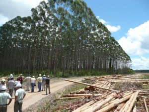 Eucalyptus plantation in Brazil. A forest farming operation; the world uses a lot of paper.