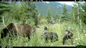 Grizzly Bear and Cubs Using Wildlife Overpass in Banff National Park, Demonstrating Connectivity within the Matrix. Photo by Anthony Clevenger, Banff National Park. Used with permission.