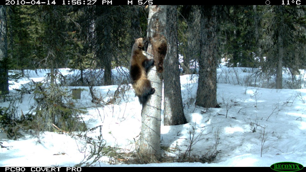Wolverine Taking the Bait at a DNA Study Hair Snare to Study Connectivity within the Matrix in Banff. Photo by Anthony Clevenger, Banff National Park. Used with permission.