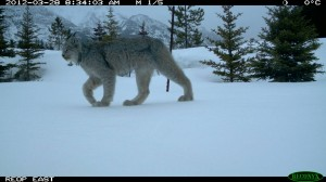 Lynx using a wildlife overpass over Highway 1 in Banff national Park Photo credit: Anthony Clevenger.