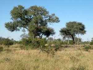 Trees in African savannah