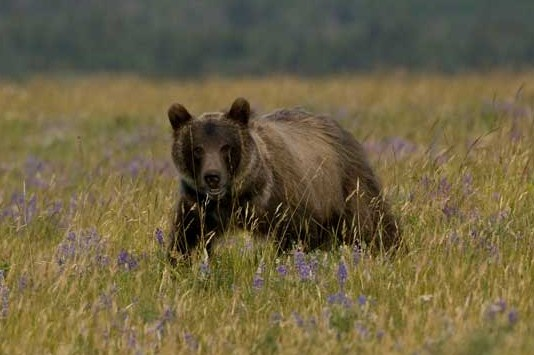 Grizzly bear, Waterton Lakes National Park. Photo by Rod Sinclair.