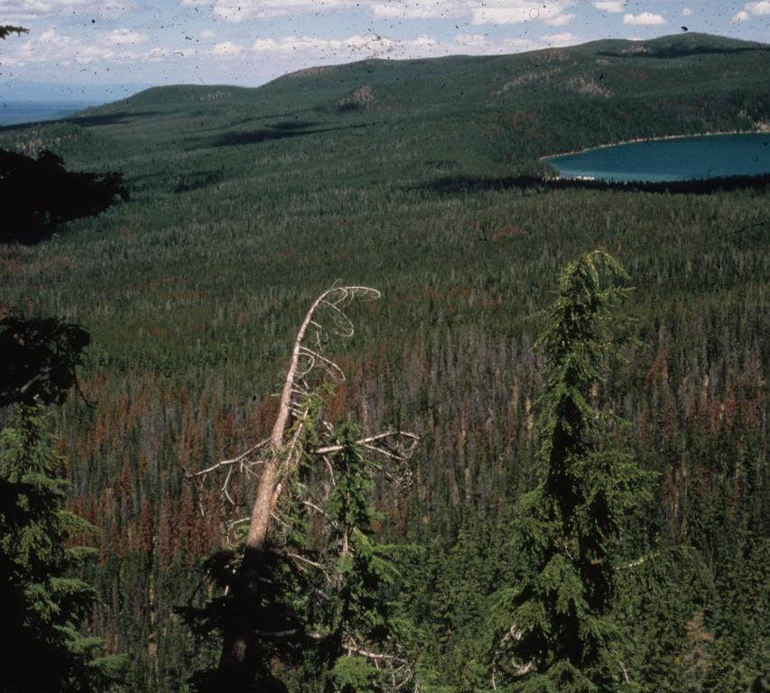 Brown crowns denote lodgepole pine killed by bark beetles the previous year.
