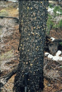 A tree's first defense against bark beetles is to exude pitch around the attacking insects.