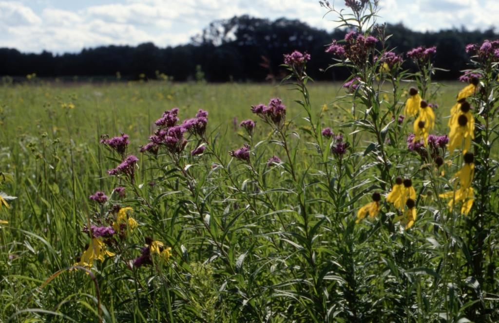 Example of a remnant approach: the Curtis Prairie restoration project, on an abandoned farm that is now part of the Arboretum of the University of Wisconsin, Madison. Restoration began in 1936 and is the oldest documented prairie restoration project in North America. Photo by John Rieger.