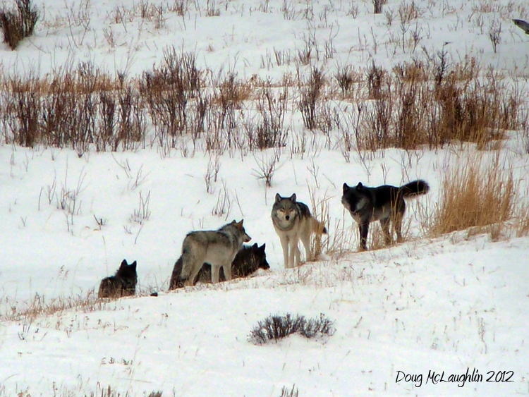 The Lamar Canyon pack in 2012. Photo by Doug McLaughlin, used with permission.