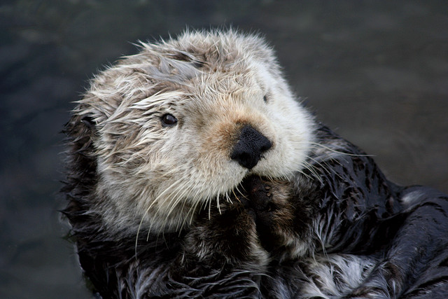 Sea otter. Photo by Teddy Llovet, used under Creative Commons licensing.