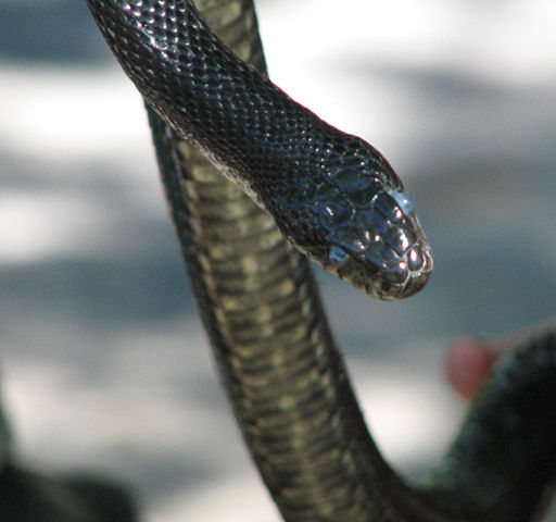 Eastern rat snakes have a bad reputation. Photo by D. Gordon E. Robertson, used under Creative Commons licensing.