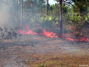 Prescribed fire can be an important process to support plants that rely on fire.