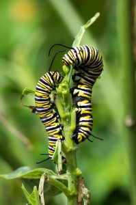 Monarch larvae. Photo by Nicole Castle Brookus, used under Creative Commons licensing.