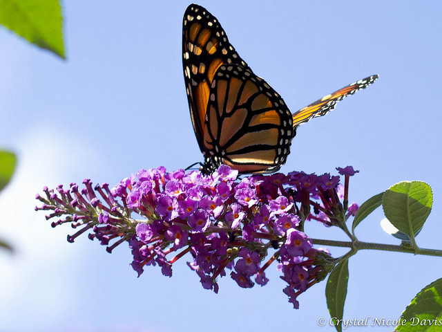 A monarch butterfly in DC. Photo by crystalndavis, used under Creative Commons licensing.