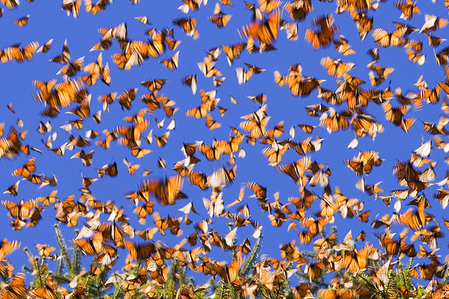 Monarchs are known for their impressive migration. Photo by Tarnya Hall, used under Creative Commons licensing.