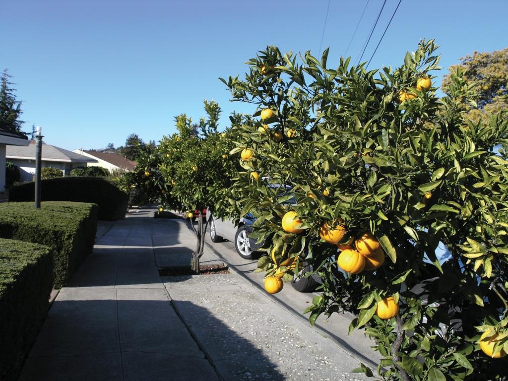 Orange trees in Berkeley, California. The remarkable absence of fallen fruit proves that public produce is prized in some communities. Photo by Darrin Nordahl.