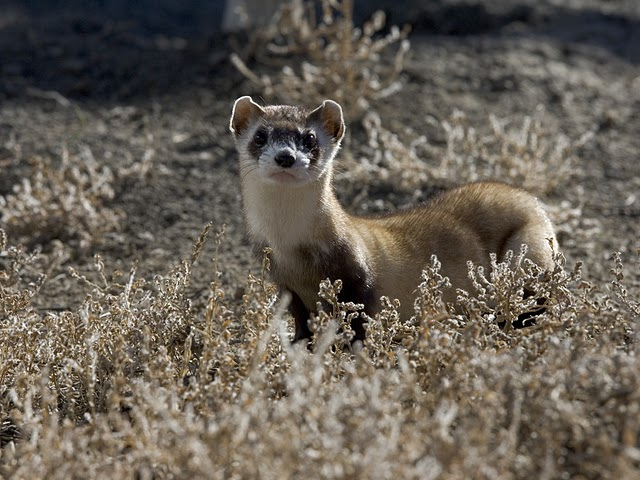 The recovery of black-footed ferrets is one of the success stories of conservation biology. Photo by USFWS Mountain-Prairie, used under Creative Commons licensing.