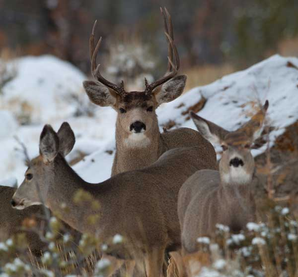 Mule deer at Torrey Creek Trailhead. Photo © Scott Copeland.