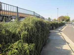 A wall of cascading rosemary outside a popular supermarket. Inside the supermarket, rosemary is $42/lb. Outside, it