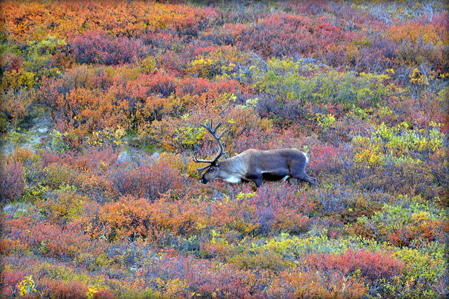 Caribou in Denali National Park, Alaska. Photo by blmiers2, used under Creative Commons licensing.