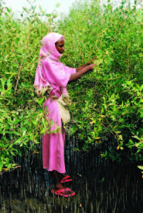 A woman from the village of Hirgigo in Eritrea harvests propagules from flourishing five-year-old mangrove trees that will be used to plant new areas of coastline and feed sheep and goats.