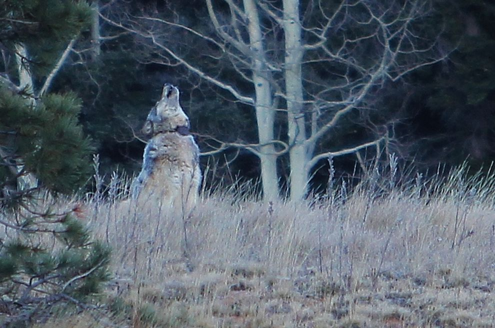 This female wolf wandered from Yellowstone to the Grand Canyon. Photo courtesy Arizona Game and Fish Department.
