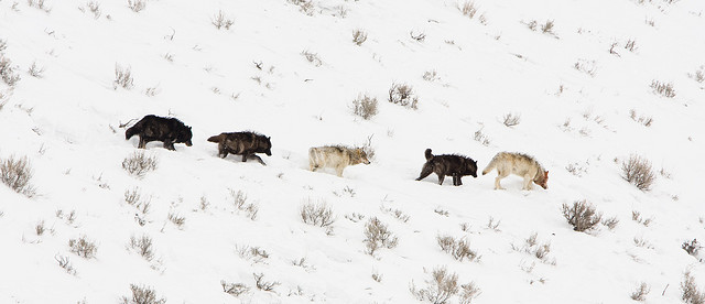 Wolves in Yellowstone. Photo by Will, used under Creative Commons licensing.