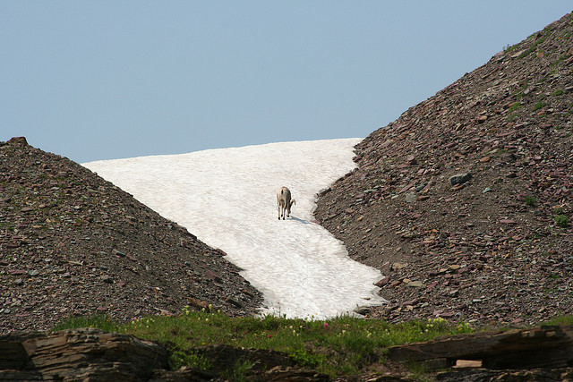 A big-horned sheep in Glacier National Park. Photo by RLEVANS, used under Creative Commons licensing.