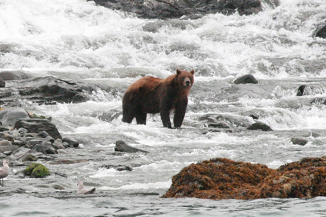 A grizzly bear in Alaska. Photo by Arthur Chapman, used under Creative Commons licensing.
