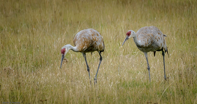 Sandhill cranes in Yellowstone. Photo by Charles (Chuck) Peterson, used under Creative Commons licensing.