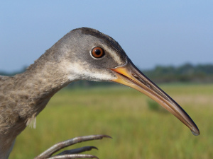 A clapper rail in Delaware. Photo by U.S. Fish and Wildlife Service Northeast Region, used under Creative Commons licensing.