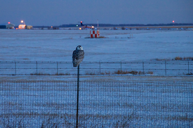 A snowy owl at an airport in British Columbia. Photo by tuchodl, used under Creative Commons licensing.