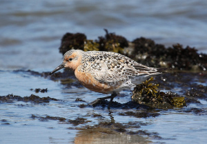 A Red knot. Photo by Jason Crotty, used under Creative Commons licensing.