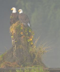 Eagles in the mist, Khutze Inlet. Photo by Cristina Eisenberg.