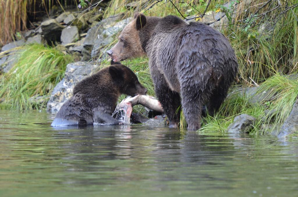 Grizzly mother teaching cub to fish. Photo by Cristina Eisenberg.