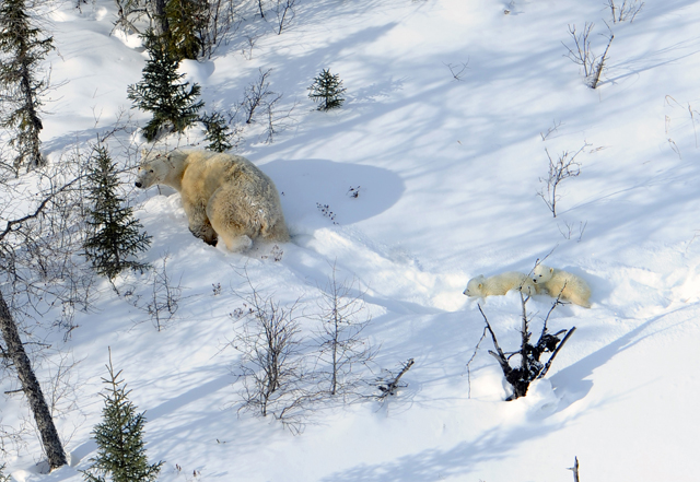 Along the west coast of Hudson Bay, polar bears are producing fewer cubs and fewer are surviving beyond the first year of life. Photo credit Edward Struzik.