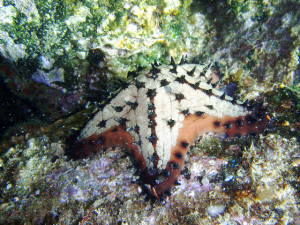 A chocolate chip sea star. Photo by David Galvan, used under Creative Commons licensing.