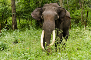 Asian elephant. Photo by Srikaanth Sekar, used under Creative Commons licensing.