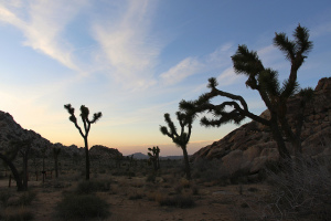 Joshua trees. Photo by Jean-Michel Villanove, used under Creative Commons licensing.